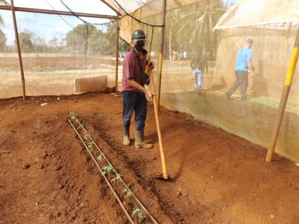 Casa cultivo UEB Integral agropecuaria Remedios